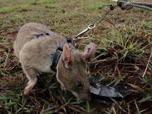 Thế giới - Chuột khổng lồ dò gỡ hàng chục ngàn quả mìn