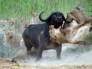 Thế giới - Trâu rừng 1 tấn húc thủng ngực sư tử hung hãn