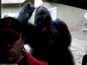 """Thế giới - Video khỉ đột 2 tạ tức tối đòi đánh khách quay """"tự sướng"""""""