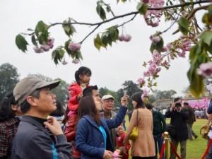 Tin tức trong ngày - 600 cành hoa anh đào sắp bung nở ở Hoàng Thành Thăng Long