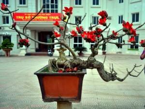 Tin tức trong ngày - Ngắm cây hoa gạo mini bung nở tuyệt đẹp ở Hà Nội