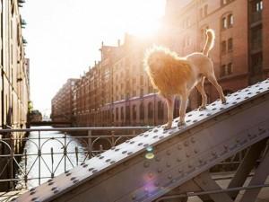 Bạn trẻ - Cuộc sống - Mê tít bộ ảnh chó vô gia cư hùng dũng như Chúa sơn lâm