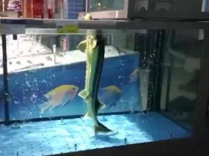 """Thế giới - Video: Cá """"đứng"""" thẳng như người, nhảy nhót theo nhạc"""