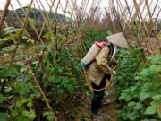 Thị trường - Tiêu dùng - Hà Nội: Chỉ 5% rau an toàn vào siêu thị!