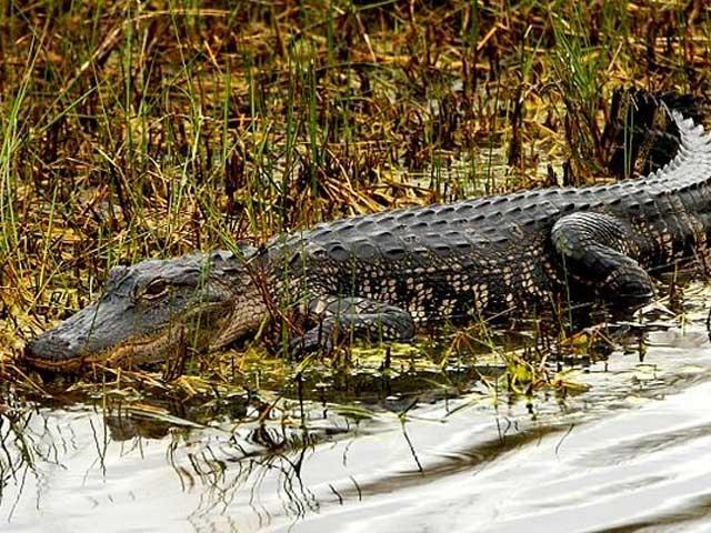 Tìm diệt cá sấu lớn lượn lờ trên sông Soài Rạp