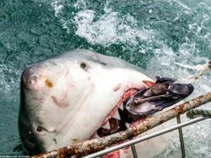 Thế giới - Cận cảnh cá mập khủng lao lên đớp mồi trên thành tàu