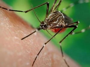 """Sức khỏe đời sống - Dùng muỗi """"trị"""" muỗi giúp giảm lây lan virus Zika"""