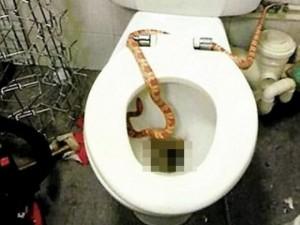 Thế giới - Anh: Hoảng hồn rắn độc 2m chui ra từ bồn cầu