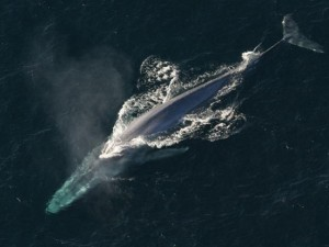 Thế giới - Choáng ngợp loài cá voi 170 tấn lớn nhất hành tinh