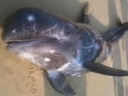 Video An ninh - Cá voi 100kg chết bất thường tại bờ biển Huế