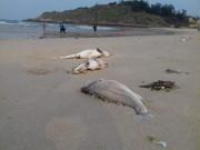 Tin tức trong ngày - Cá chết hàng loạt ở miền Trung: Có thể do độc tố mạnh