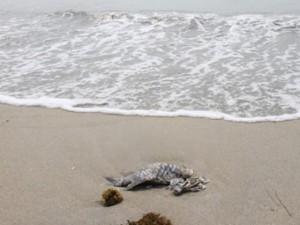 Tin tức trong ngày - Cá chết dạt biển Đà Nẵng: Xác nhận... 17 con