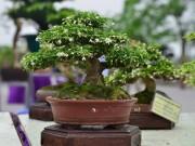 Thị trường - Tiêu dùng - Những cây bonsai tí hon giá hàng trăm triệu