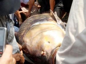 """Tin tức trong ngày - Ngư dân bắt được cá """"khủng"""" ở Sài Gòn giờ ra sao?"""