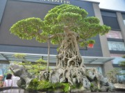 """Thị trường - Tiêu dùng - """"Siêu cây"""" 120 tỷ đồng tái xuất ở Hà Nội"""