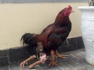 Những chú gà 4 chân kỳ lạ khắp nước Việt Nam