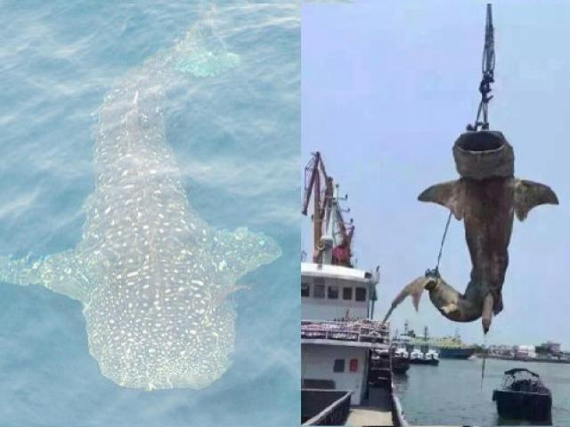 TQ: Xẻ thịt cá mập khổng lồ ngay tại sân khách sạn - 1