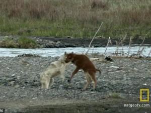 Thế giới - Video: Bò rừng 7 ngày tuổi đánh bại chó sói đói