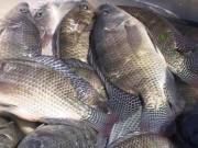 Thị trường - Tiêu dùng - Cá rô phi được quy hoạch, xây dựng thương hiệu xuất khẩu