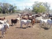 Thị trường - Tiêu dùng - Hết thời ào ào nhập bò Úc về Việt Nam