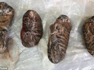 Thế giới - Báo Tây viết về 4 chú hổ con bị đông lạnh ở VN