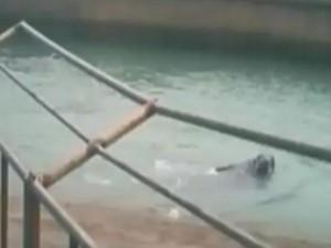 Thế giới - Hải mã 1,5 tấn dìm chết du khách trong vườn thú ở TQ
