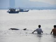 Tin tức trong ngày - Giải cứu cá heo nặng gần 1 tạ bị thương dạt vào bờ biển