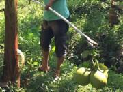 Thị trường - Tiêu dùng - Mất mùa trái cây, nông dân trắng tay