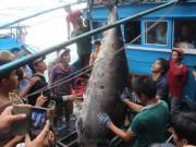 Thị trường - Tiêu dùng - Cá ngừ Việt sang Mỹ phải đạt chứng nhận 'an toàn cá heo'