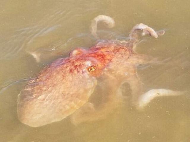 Video: Bạch tuộc thông minh thò vòi vào bẫy trộm cá của ngư dân - 2