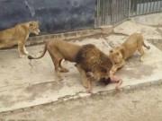Phi thường - kỳ quặc - Chile: Chàng trai khỏa thân nhảy vào chuồng sư tử tự tử
