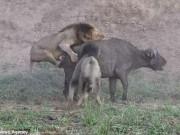 """Thế giới - Trâu rừng bất ngờ được sư tử cái """"cứu mạng"""""""