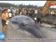 Video An ninh - Cip: Giải cứu cá voi hơn 10 tấn mắc cạn ở Nghệ An