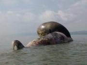 Tin tức trong ngày - Cận cảnh cá voi khủng chết trôi dạt trên biển Nghệ An