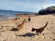 Du lịch - Khám phá hòn đảo mèo đông gấp 10 lần người