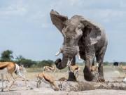 Thế giới - Voi 8 tấn dùng vòi quét linh dương chiếm chỗ tắm bùn
