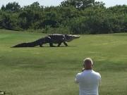 Phi thường - kỳ quặc - Cá sấu khổng lồ ngông nghênh đi lại trên sân golf ở Mỹ
