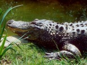 Thế giới - Bắt gặp hai cá sấu đang ăn xác người ở Mỹ