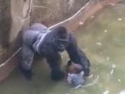 Thế giới - Bé 3 tuổi rơi vào chuồng khỉ đột: Bố mẹ bị điều tra