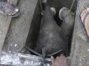Thế giới - Video: Giải cứu voi con mắc kẹt dưới cống