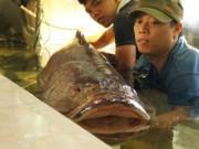 Tin tức trong ngày - Cá mú nghệ siêu khủng, dài 1m6 bơi lượn ở Sài Gòn