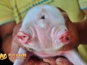 Phi thường - kỳ quặc - Lợn hai đầu ba mắt chào đời ở TQ