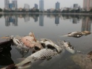 Tin tức trong ngày - Vớt được gần 6 tấn cá chết ở hồ Hoàng Cầu