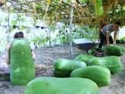 """Du lịch - Kỳ lạ làng bí đao """"khổng lồ"""" ở Bình Định"""