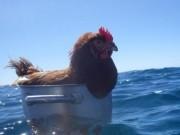 Phi thường - kỳ quặc - Cô gà mái 2 năm lênh đênh trên đại dương