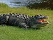 Phi thường - kỳ quặc - Mỹ: Bé 2 tuổi bị cá sấu bắt ngay trước mặt bố mẹ