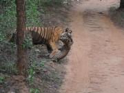 Du lịch - Ấn Độ: Hổ và báo kịch chiến trước mặt du khách
