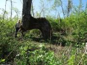 Phi thường - kỳ quặc - Giải mã hàng loạt cây lớn oằn 90 độ bí ẩn trong rừng Mỹ