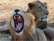 Phi thường - kỳ quặc - Ấn Độ phạt tù chung thân 3 sư tử ăn thịt người