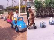 """Video Clip Cười - Clip hài: """"Bố ơi, mình đi đâu thế"""" phiên bản chó"""
